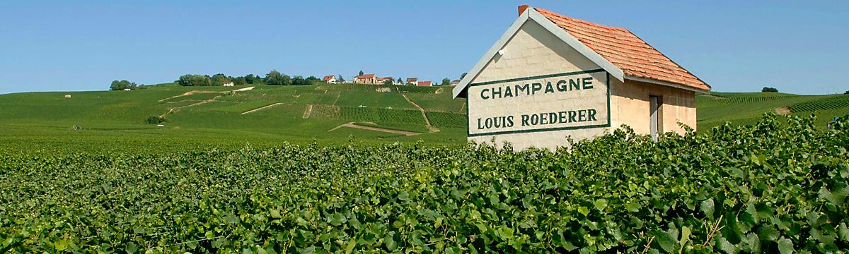 16-louis-roederer-vineyard-in-ay-one-of-their-grand-cru-rated-vineyards